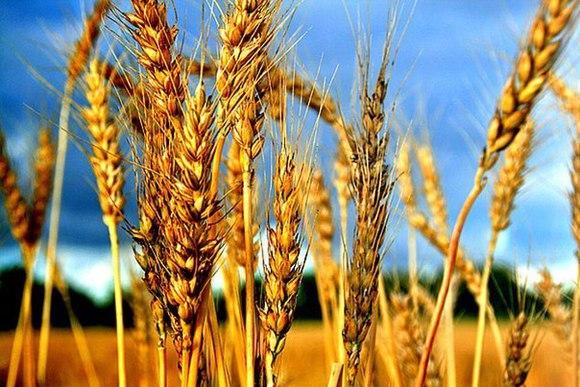 Российские экспортеры временно остановили закупку пшеницы