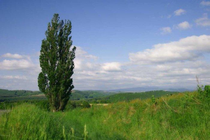 Ученые хотят вырастить уникальные тополя-гиганты для биотоплива