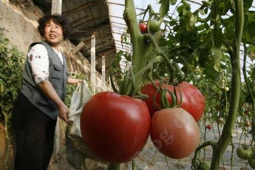 Ученые начнут выращивать овощи гигантских размеров