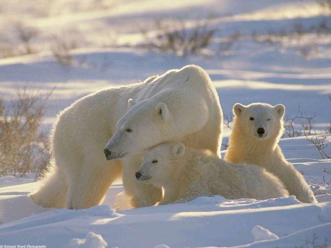 Белые медведи исчезнут с лица земли через 10 лет.