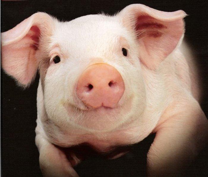 В Мексике фермер умер после того, как свинья откусила ему гениталии