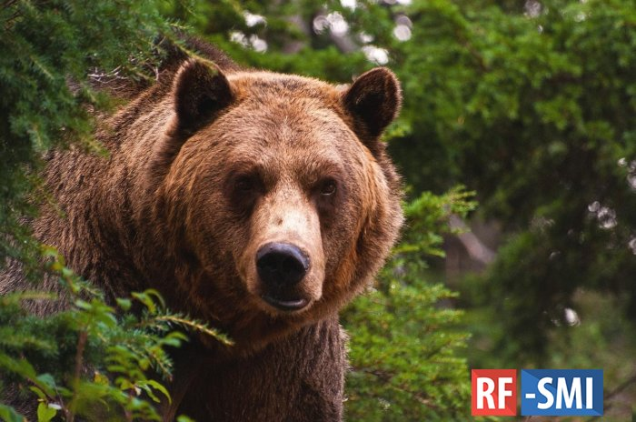 В Подмосковье медведь растерзал дачника