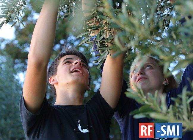 Артековцы встретили праздник урожая в оливковой роще