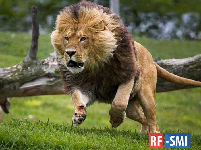 На базе отдыха в Краснодарском крае лев ранил 13-летнюю девочку