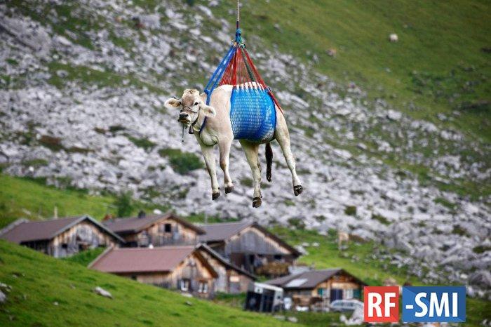 В Швейцарии коров очень оригинально вывозят с высокогорных пастбищ